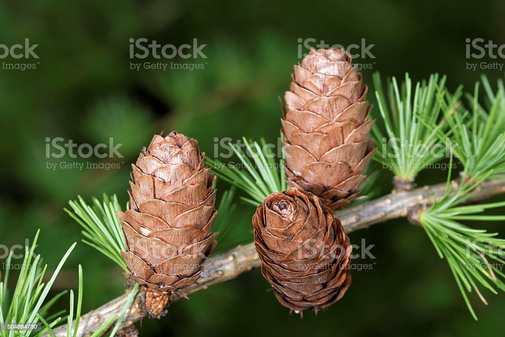 Larch strobiles stock photo