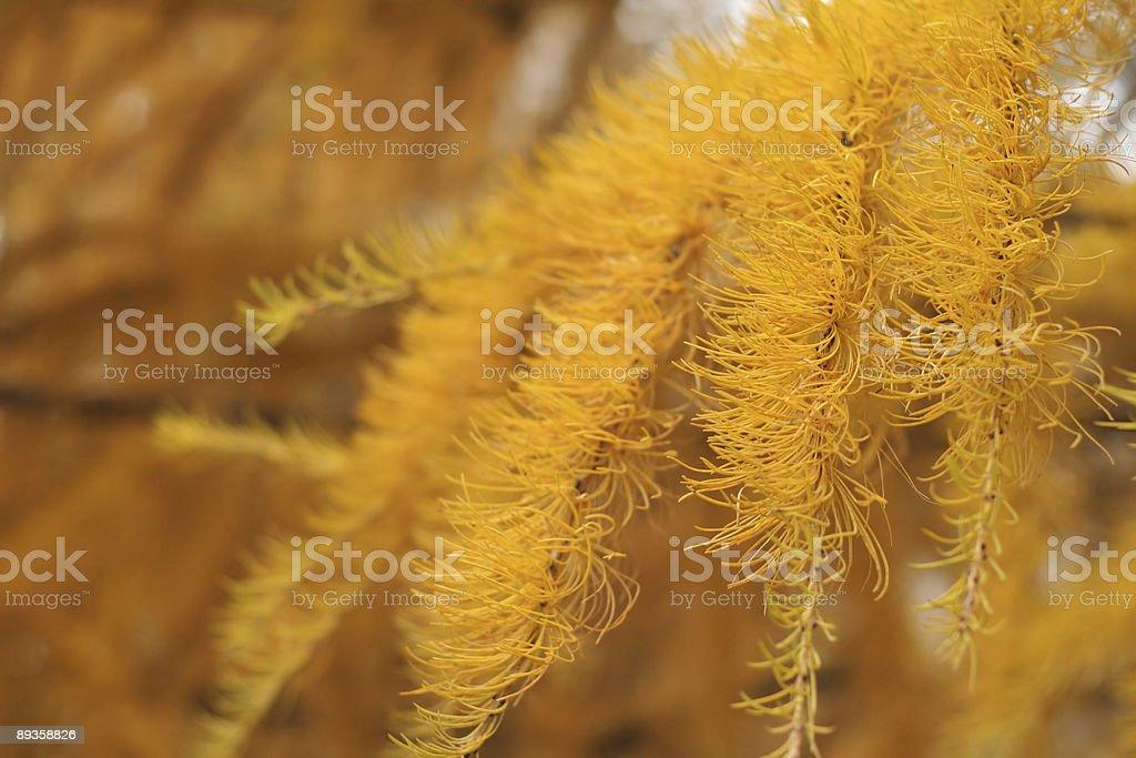 larch tree closely royaltyfri bildbanksbilder