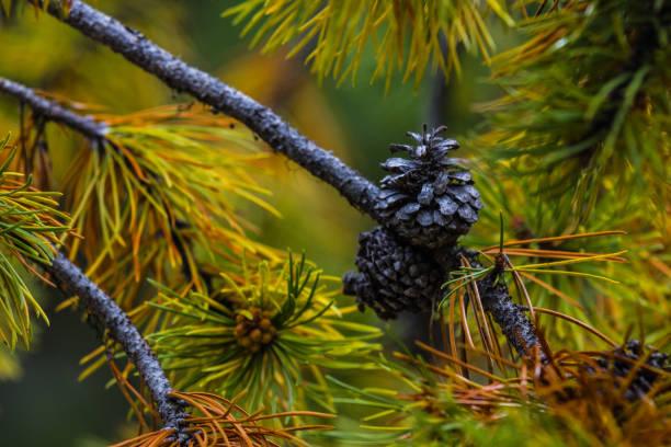 Larch Tree Pine Cone in Autumn stock photo