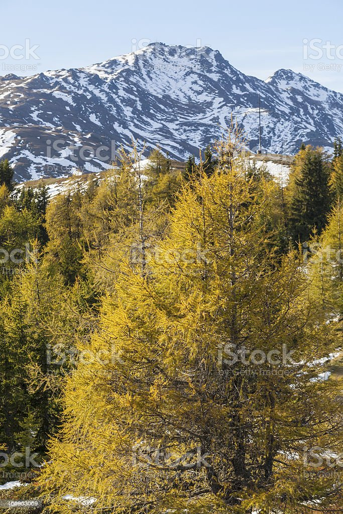 Larch trees in autumn landscape royalty-free stock photo