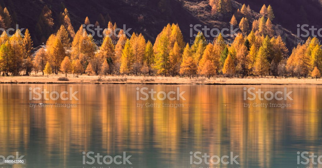 larch trees in fall and reflections on a lake stock photo