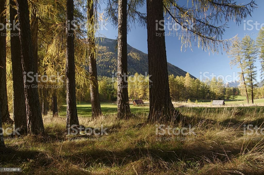 larch trees royalty-free stock photo
