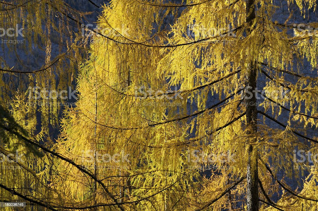 Larch trees stock photo