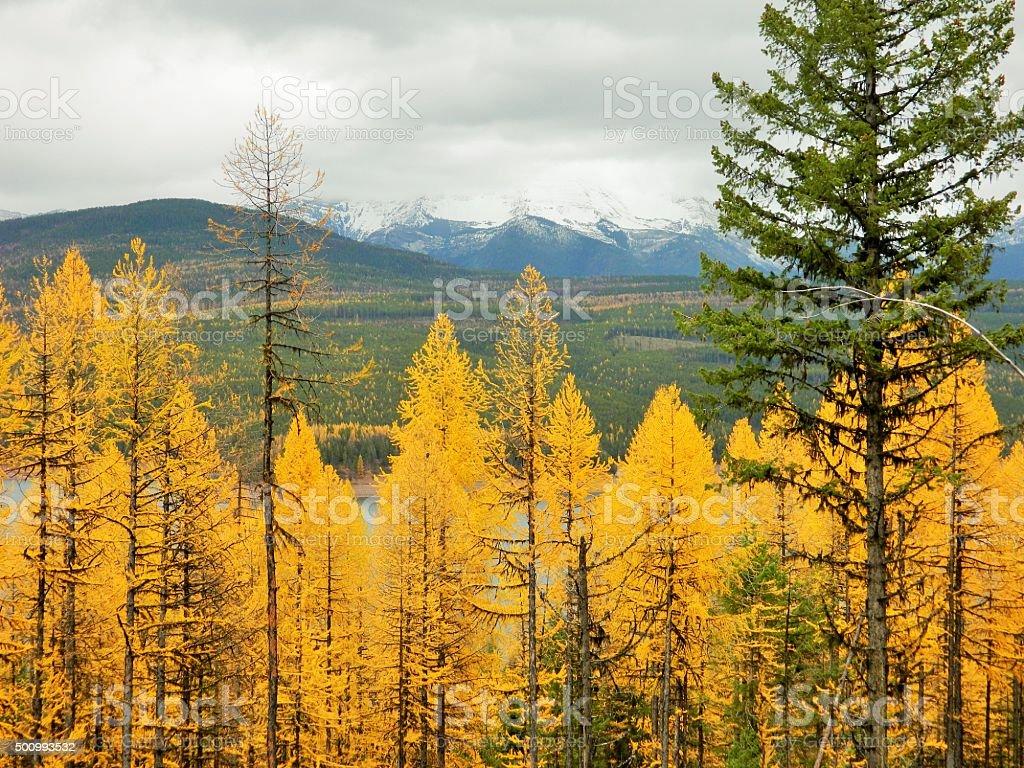 Alerce árboles - foto de stock