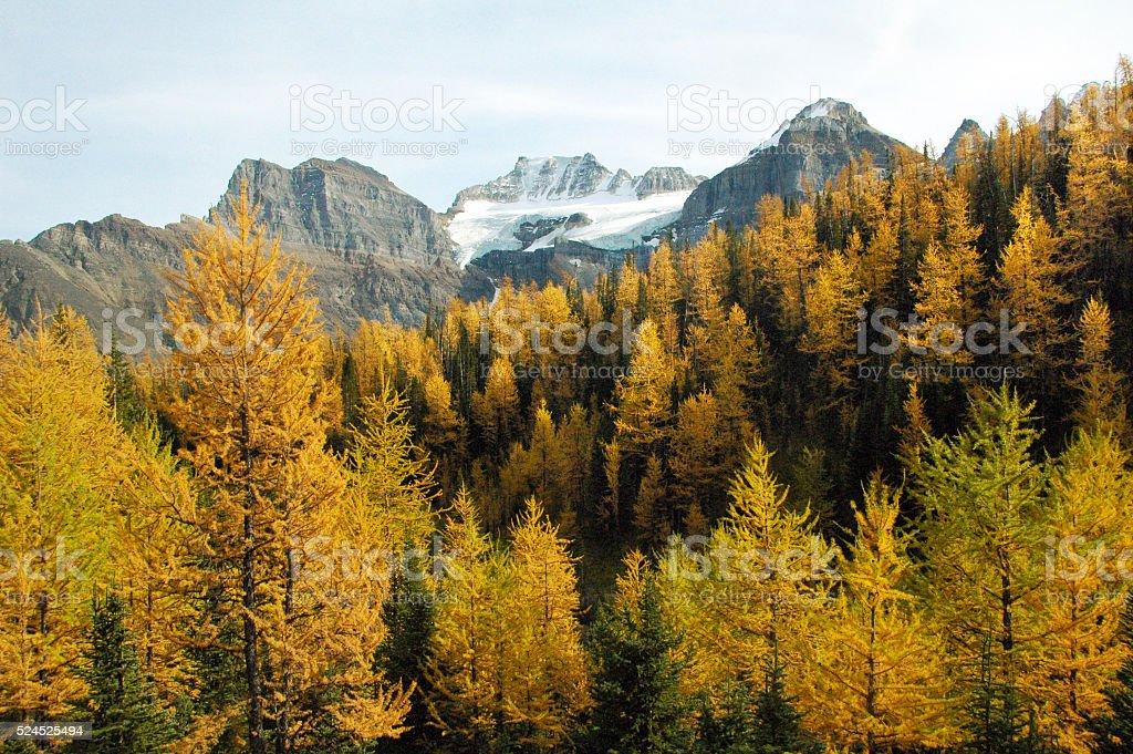 Lärchen im Herbst – Foto