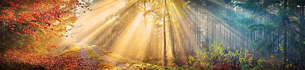 Large 60 Mpix Autumn Forest Panorama  - Morning Sun Rays stock photo