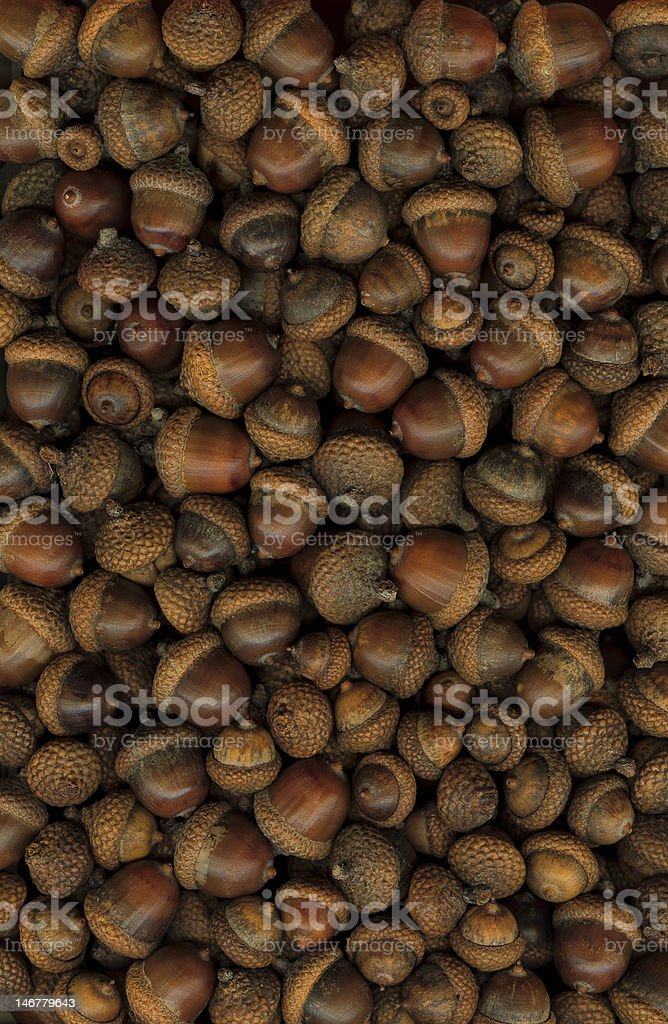 Large acorns stock photo