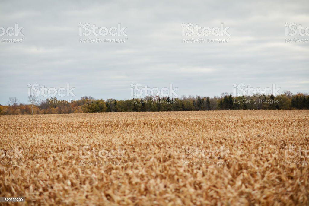 Large acreage of harvested corn stubble in a field stock photo