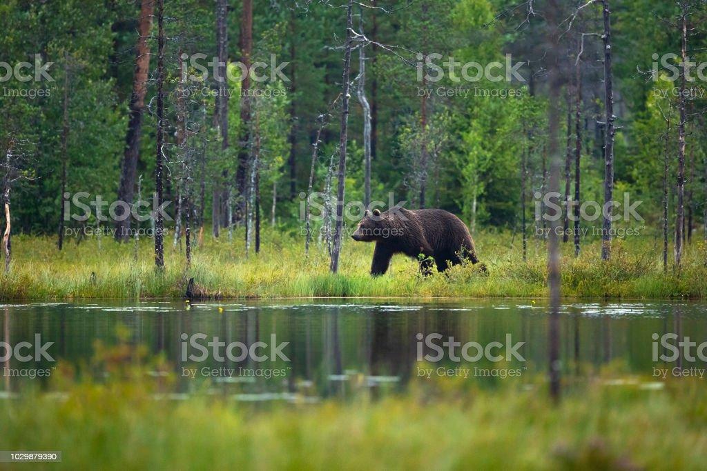 Large adult brown bear walking in the forest - Royalty-free Animal Stock Photo