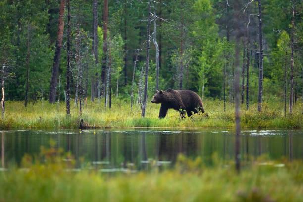 gran oso pardo adulto caminando en el bosque - mamífero fotografías e imágenes de stock