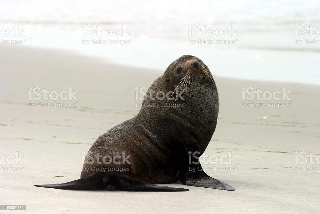 Große Erwachsenen Seebär looks direkt an die Kamera – Foto