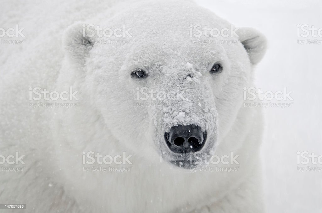 Large Adult Male Polar Bear royalty-free stock photo