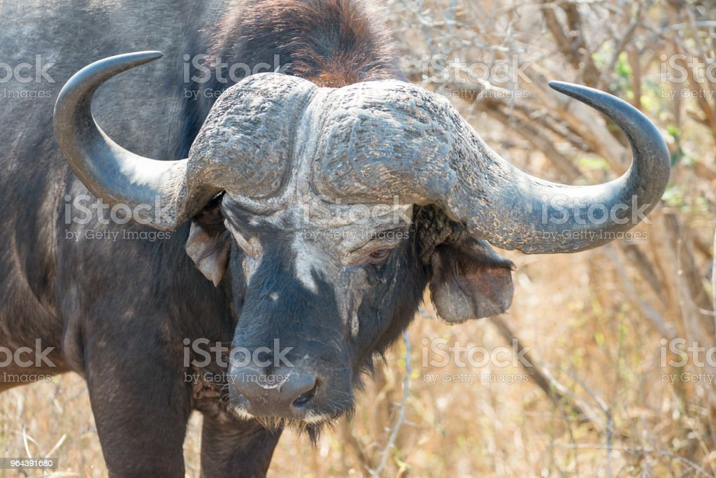 Hoofd van de grote Afrikaanse buffaloe in bush - Royalty-free Dierenkop Stockfoto