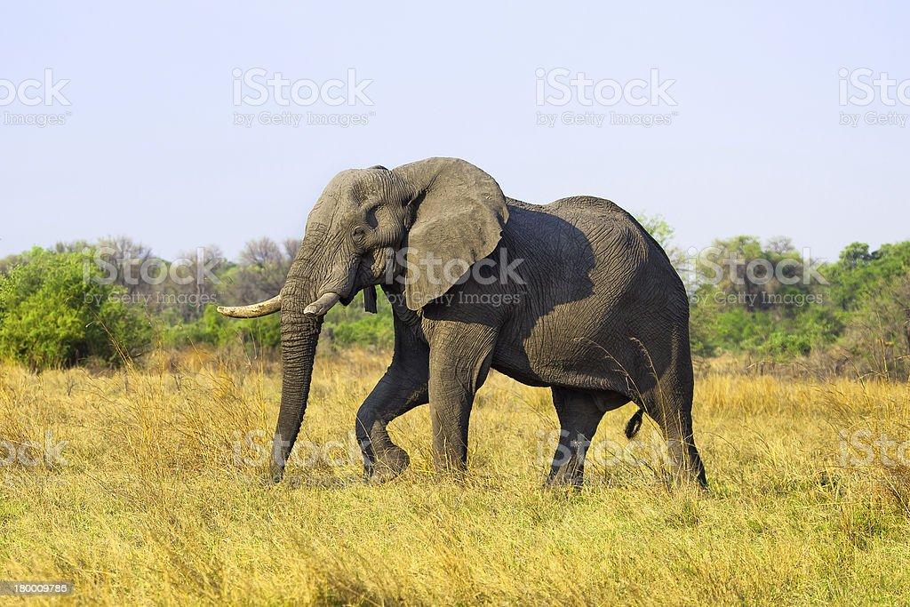 Large African Elephant royalty-free stock photo