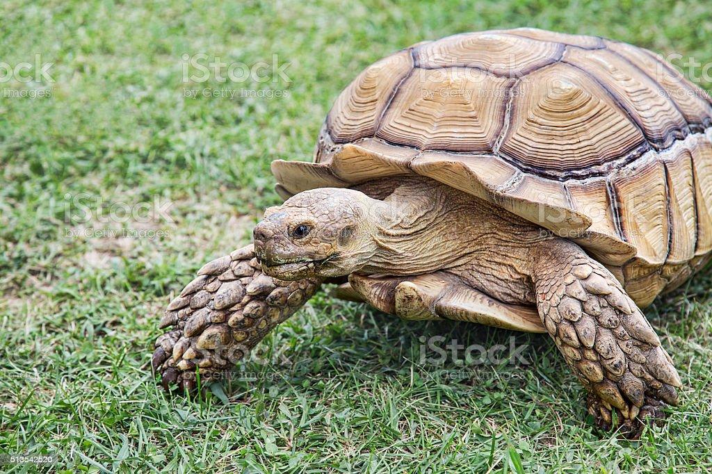 Large African Tortoise stock photo