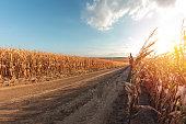 Large agricultural corn field of ripe corn separated by a dirt road at sunset