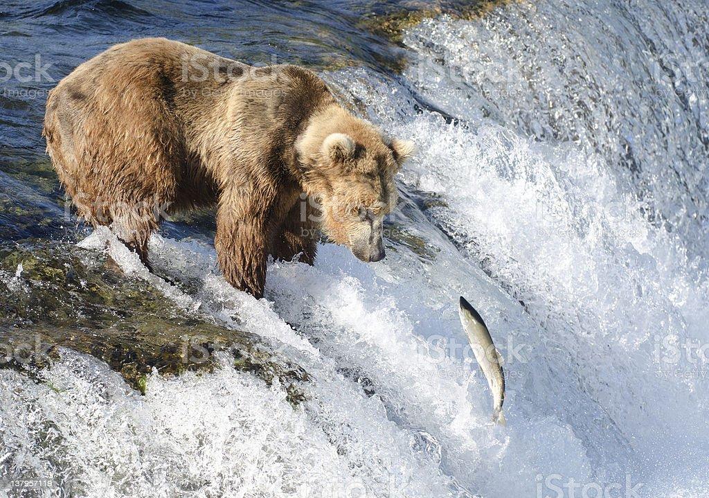 Large Alaska brown bear waiting for salmon stock photo