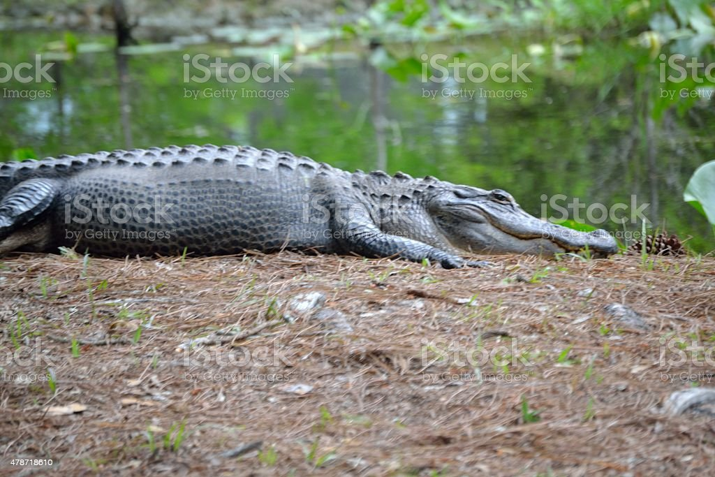 Large Alligator in Nature - Profile view- 1 stock photo