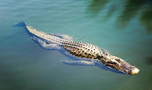 Grand alligator nageant dans les eaux des Everglades en Floride - Photo