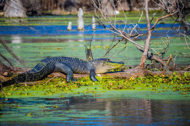 A large American Crocodile in Abbeville, Louisiana stock photo