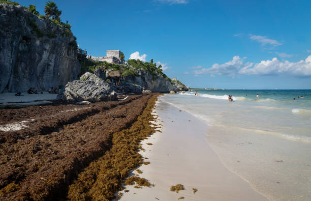 Large amounts of Sargassum seaweed at the beach of Tulum ruins, Mexico stock photo