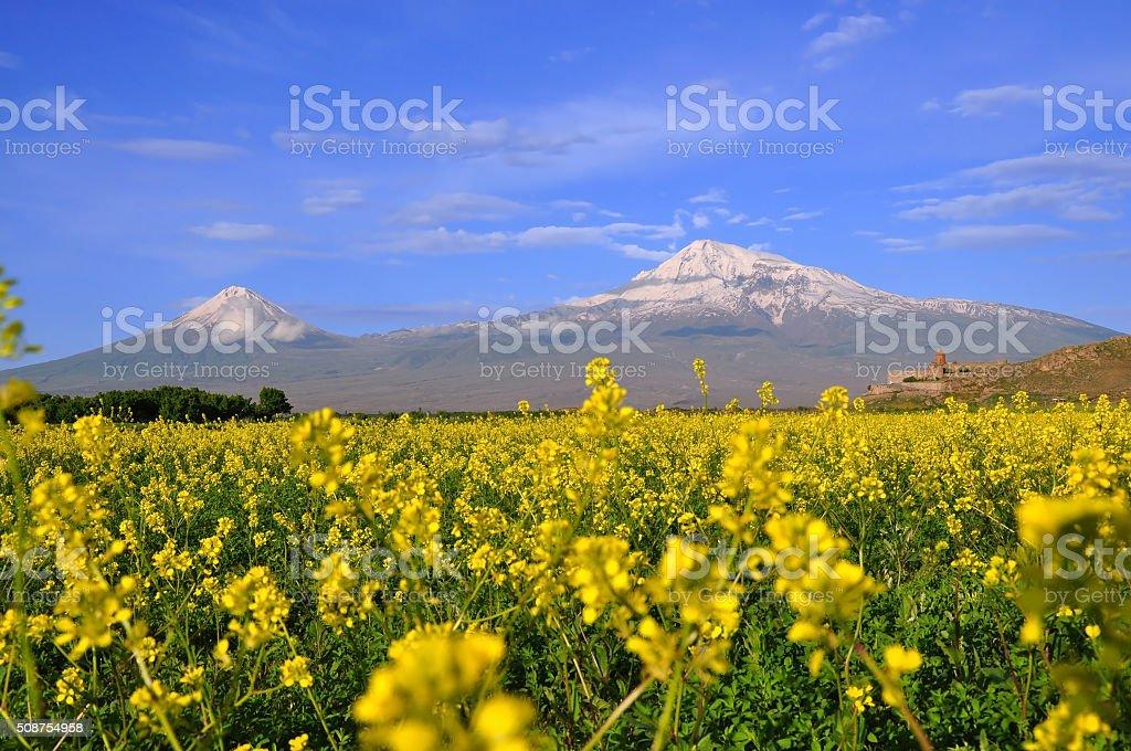 Large and small Ararat in Armenia. canola field stock photo
