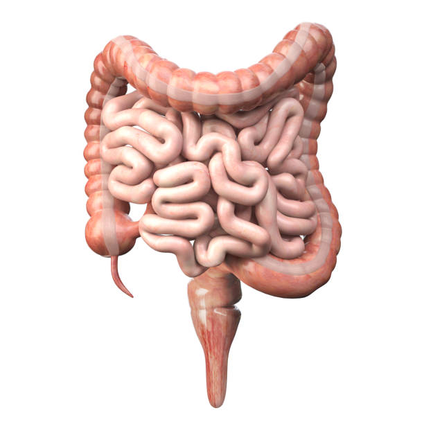 Large and small Intestineisolated on white. Human digestive system anatomy. Gastrointestinal tract. stock photo