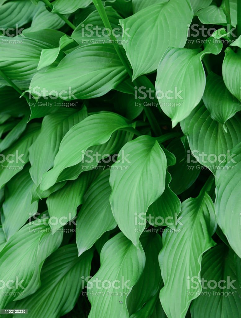 Large and wide green leaves of garden vegetation throughout the...