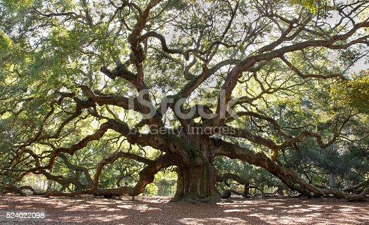 istock Large Angle Oak Tree 524022098