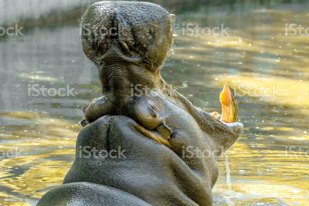 large animal hippopotamus in the water opened its mouth'n stock photo