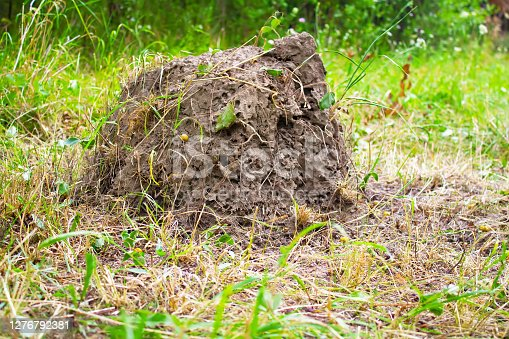 Large anthill in the summer garden