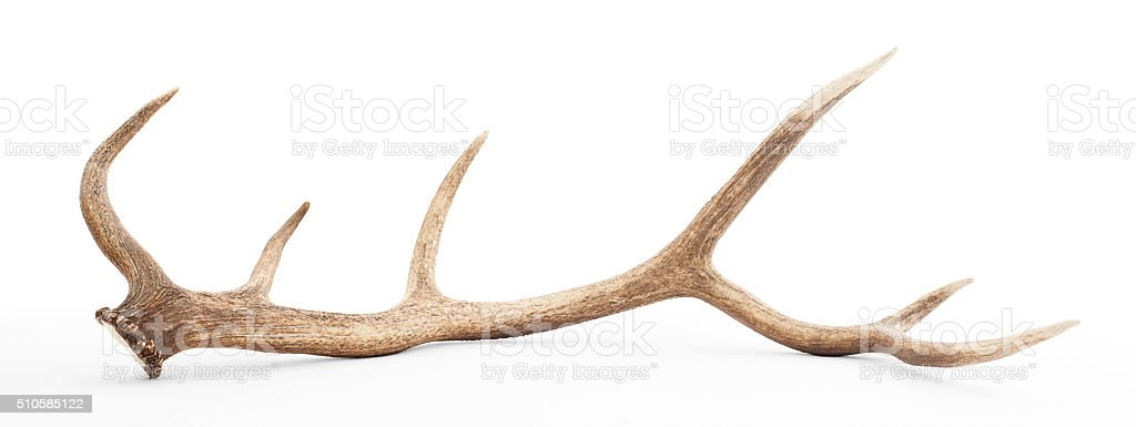 Large antler isolated on white background stock photo