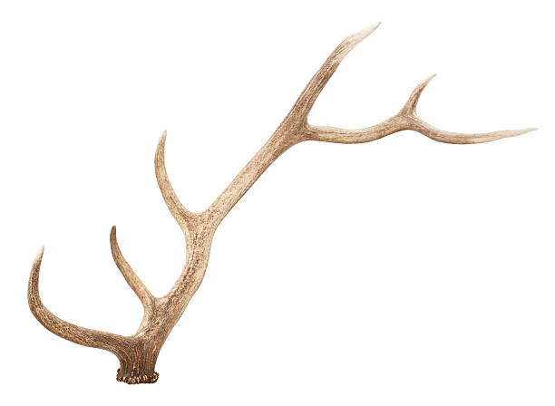 large antler isolated on white background - antlers stock photos and pictures
