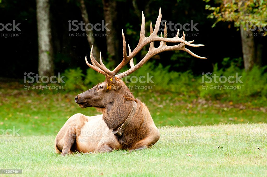 Large antlered Elk laying on the ground watching. stock photo