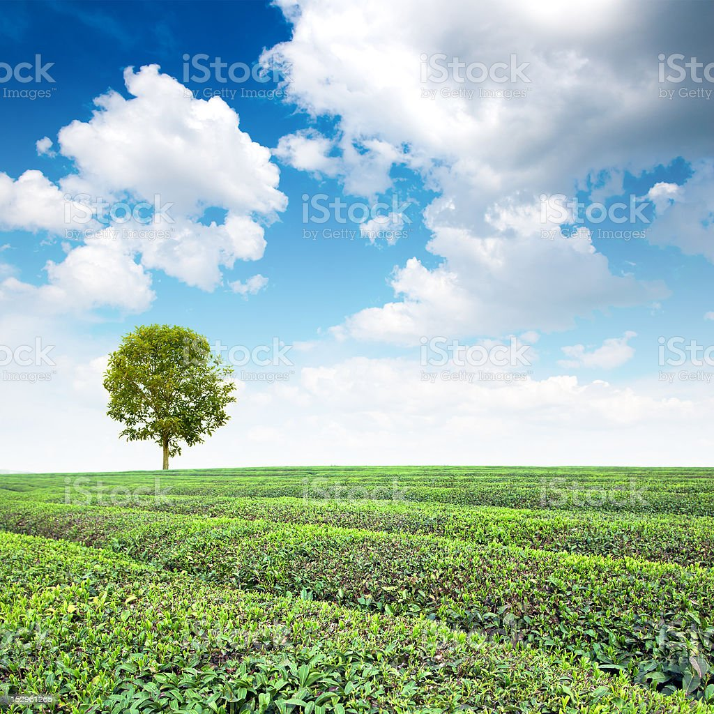 Large areas of tea plantation royalty-free stock photo