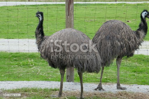 Emu is the second-largest living bird by height, after ostrich and is endemic to Australia.