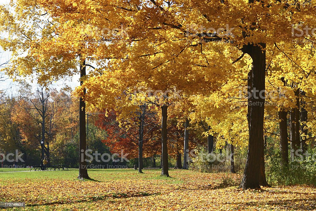 Large Autumn trees in a park royalty-free stock photo