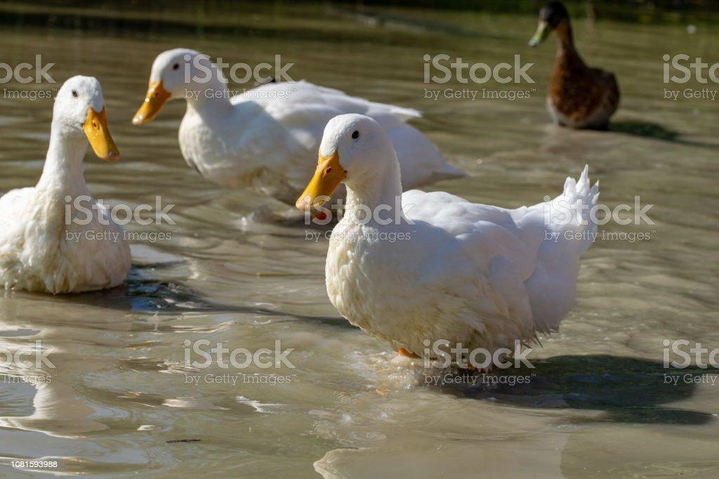 Large Aylesbury Pekin ducks with a mallard looking on in the background stock photo