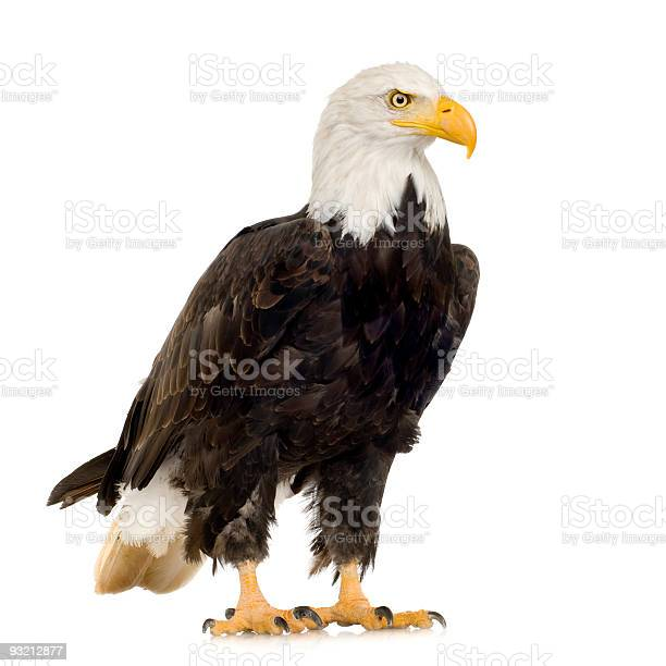 Large bald eagle on a white background picture id93212877?b=1&k=6&m=93212877&s=612x612&h=quboijcagzbba bbptw7dosmv7yzb o924aczl4m 4w=
