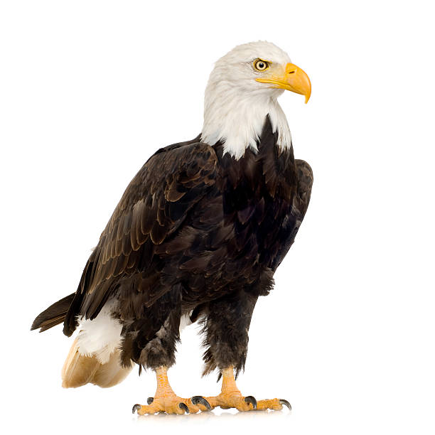 A large bald eagle on a white background stock photo