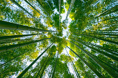 Large bamboo forest in the woods