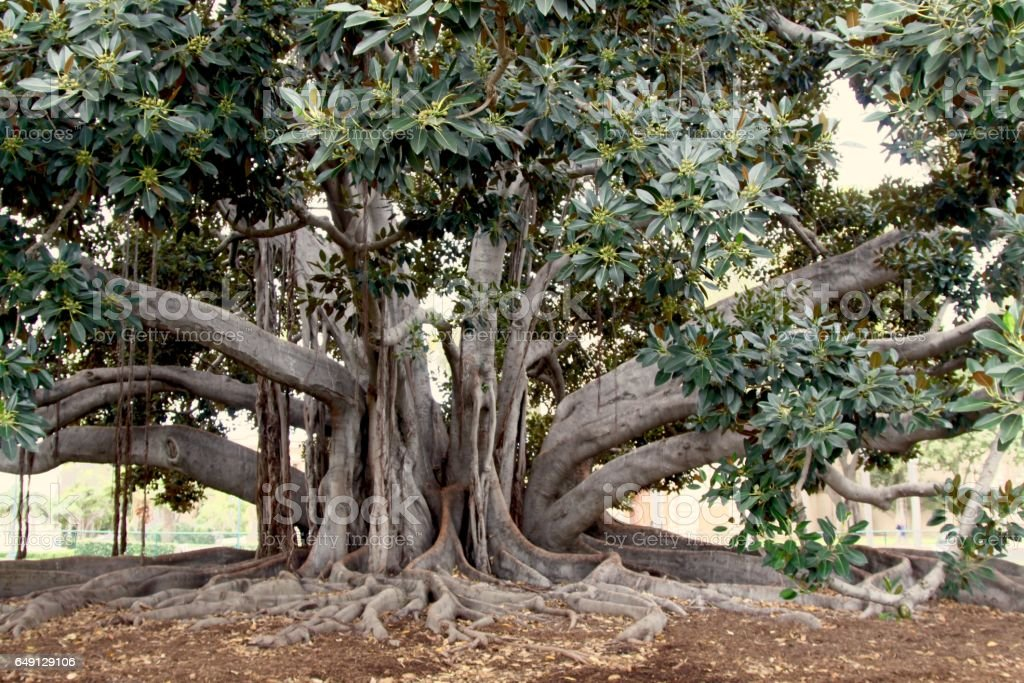 Large Banyan Tree In San Diego stock photo