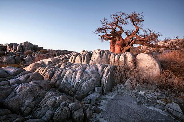 große affenbrotbaum bei the rocks - afrikanische steppe dürre stock-fotos und bilder