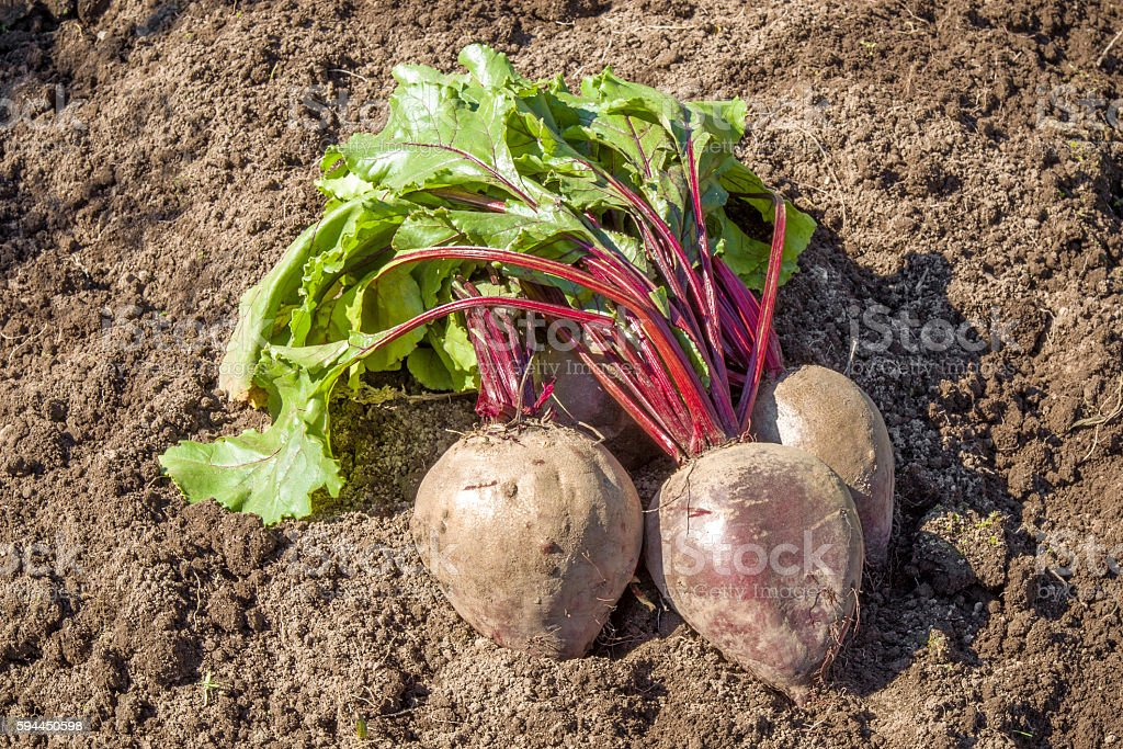 Large, beautiful grown beets just pulled out of the furrows. stock photo