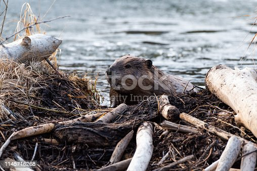 A large magnificent beaver climbing over the beaver dam towards the viewer