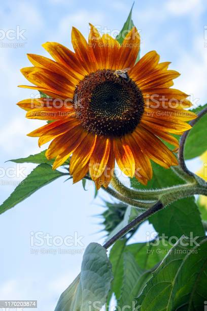 Photo of A large bee in a Little Becka Sunflowers