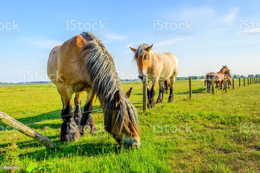Large Belgian horse is eating grass at the other side stock photo