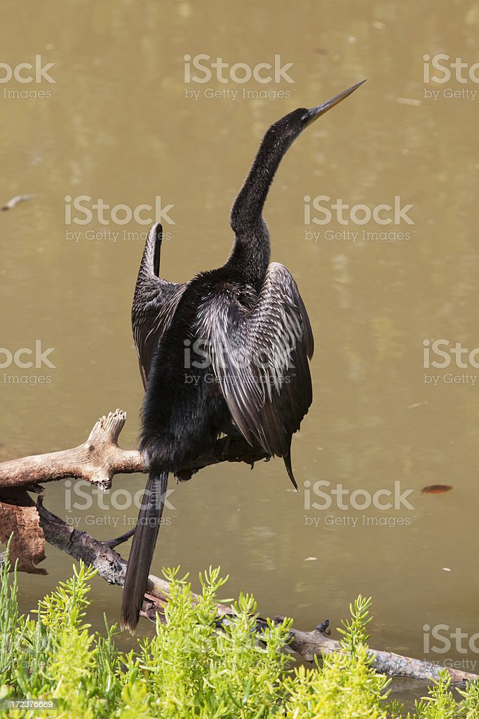 Large Bird - Anhinga royalty-free stock photo