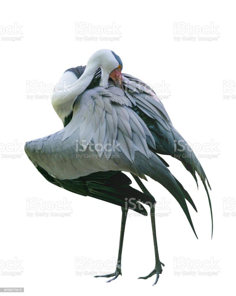 Large bird Wattled crane of the Gruidae Family in Bird Park. Isolated