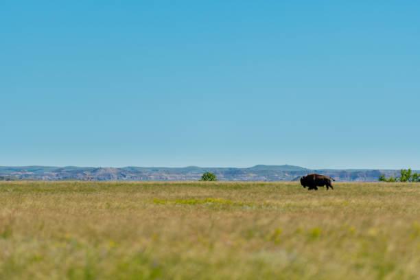Large Bison Walks Across Prarie stock photo